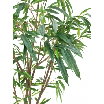 EUROPALMS Ficus Longifolia, thick trunk, 180cm #2