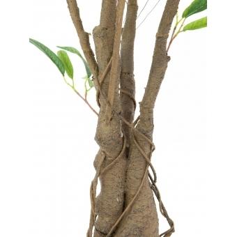 EUROPALMS Ficus Longifolia, thick trunk, 180cm #3