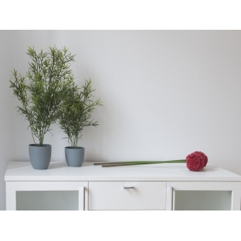 EUROPALMS Asparagus, 24cm #2