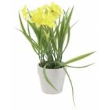 EUROPALMS Daffodil, 22cm