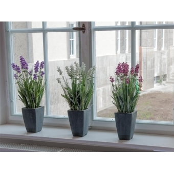 EUROPALMS Lavender, rose, in pot, 45cm #3
