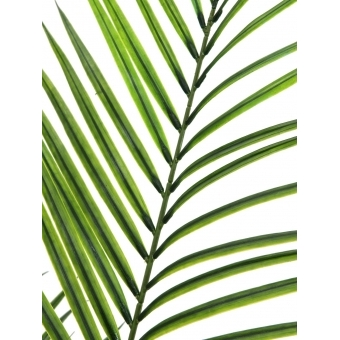 EUROPALMS Areca palm with big leaves, 165cm #2