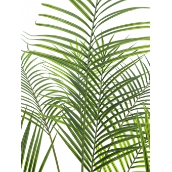 EUROPALMS Areca palm with big leaves, 185cm #2