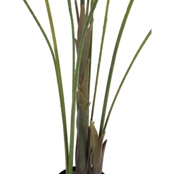EUROPALMS Areca palm with big leaves, 185cm #3