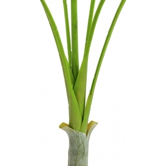 EUROPALMS Areca Palm with big leaves, 180cm #2