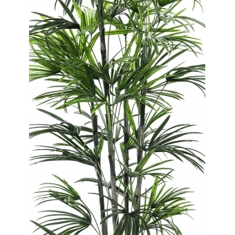 EUROPALMS Fan palm seedling, 150cm #2