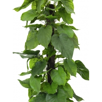 EUROPALMS Pothos plant, 180cm #2