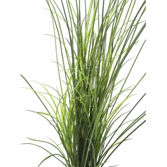 EUROPALMS Reed grass. 145cm #2