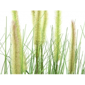 EUROPALMS Ornamental blooming grass, 70cm #2