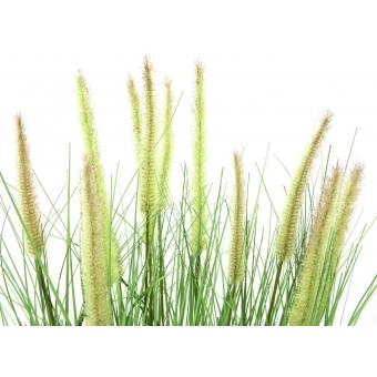 EUROPALMS Ornamental blooming grass, 70cm #3