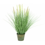 EUROPALMS Ornamental blooming grass, 70cm