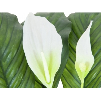 EUROPALMS Spathiphyllum deluxe, 83cm #2