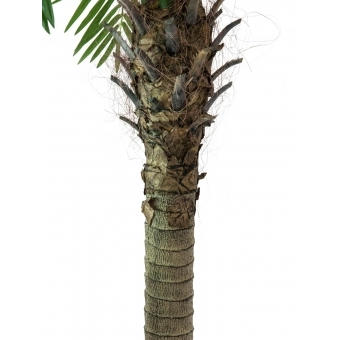 EUROPALMS Phoenix palm tree luxor, 150cm #2