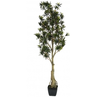 EUROPALMS Podocarpus tree, 150cm