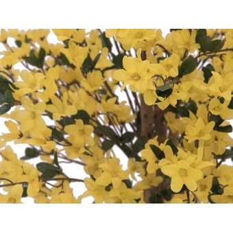 EUROPALMS Forsythia tree with 4 trunks, yellow, 150 cm #2