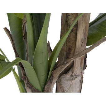 EUROPALMS Banana tree, 170cm #4