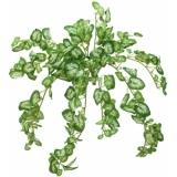 EUROPALMS Nephthytis Bush, 50 cm