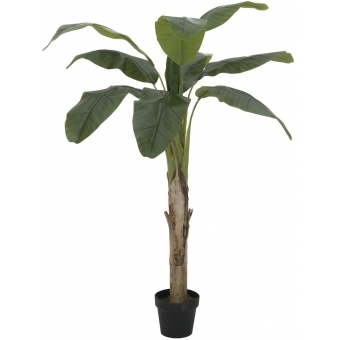 EUROPALMS Banana tree, 145cm