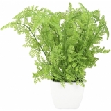 EUROPALMS Forest fern in pot, 25 cm