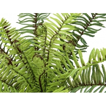 EUROPALMS Forest fern, 30cm #2