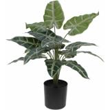 EUROPALMS Caladium plant in pot, 38cm