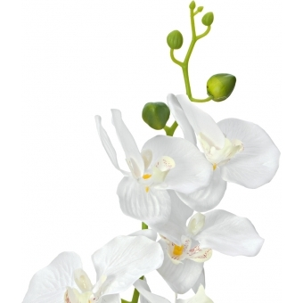 EUROPALMS Orchid, white, 65cm #2