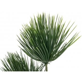 EUROPALMS Papyrus plant, 100cm #2