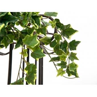 EUROPALMS Hollan Ivy Bush, Premium, 60cm #2
