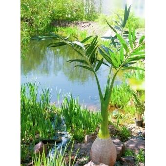 EUROPALMS Phoenix palm, artificial plant, 240cm #11