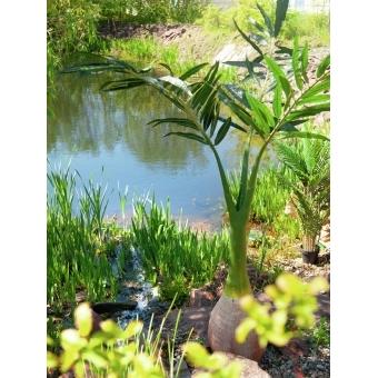 EUROPALMS Phoenix palm, artificial plant, 240cm #12