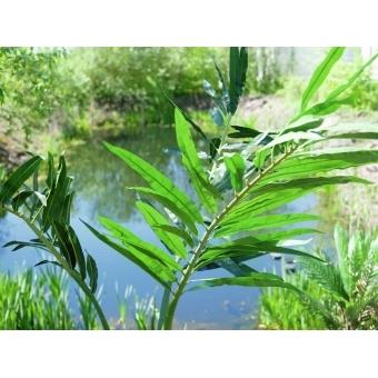 EUROPALMS Phoenix palm, artificial plant, 240cm #13