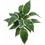 EUROPALMS Hosta, green-white, 51cm