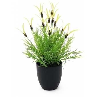 EUROPALMS Feather lettuce, 40cm