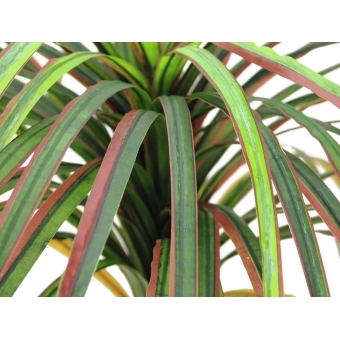 EUROPALMS Dracena, red-green, 170cm #2