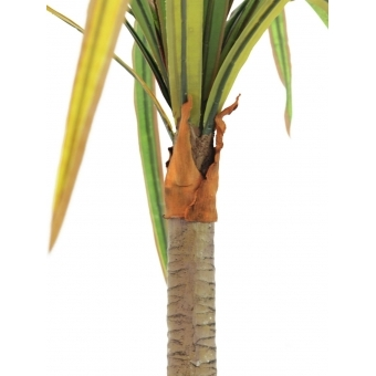 EUROPALMS Dracena, red-green, 170cm #3
