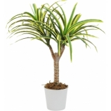 EUROPALMS Dracena, yellow-green, 50cm