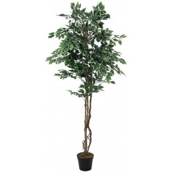 EUROPALMS Variegated Ficus, 180cm