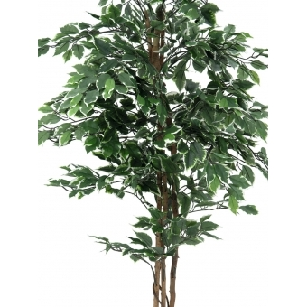 EUROPALMS Variegated Ficus, 180cm #2