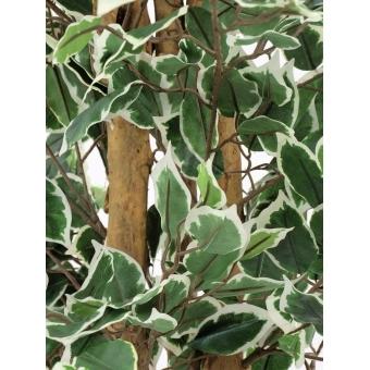 EUROPALMS Variegated Ficus, 180cm #3