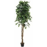 EUROPALMS Variegated Ficus, 240cm