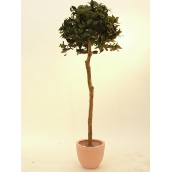 EUROPALMS Laure ball tree, 180cm #2