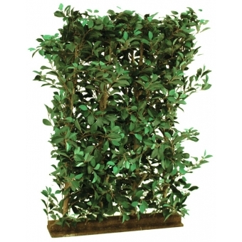EUROPALMS Ficus Hedge, 90x130cm #1