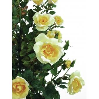EUROPALMS Rose shrub, light-yellow, 140cm #3