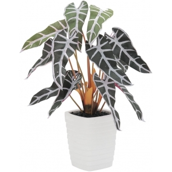 EUROPALMS Caladium plant, red-green, 35cm
