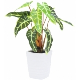 EUROPALMS Caladium plant, white-green, 35cm
