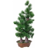 EUROPALMS Pine bonsai, 95cm