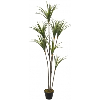EUROPALMS Yucca palm with trunks, 180cm