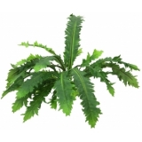 EUROPALMS Fimbriatum Fern Bush, 50cm