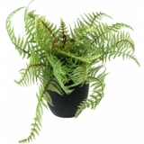 EUROPALMS Boston fern, deluxe, 26cm
