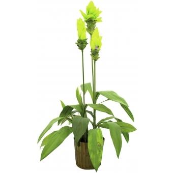 EUROPALMS Ginger lily, 95cm